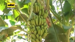 Sistema  de  riego en  banano