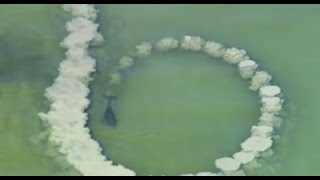 "Dolphins trick fish with mud ""nets"" - One Life - BBC"