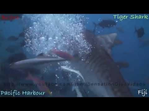 Tiger Shark Vs Scuba Diver 720p HD
