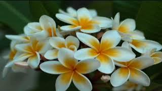 hoa su nha nang  song hao