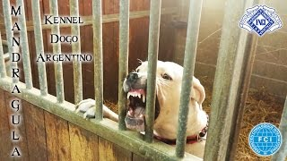 Dogo Argentino: Natural Born Guardian - Indio de Angel o Demonio's line female 2 years old