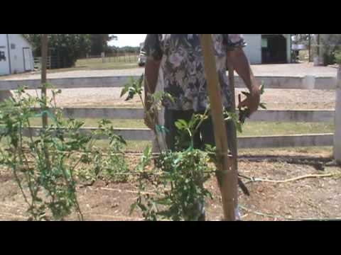 Pruning Tomatoes Revisited Again, 2009, Growing Tomatoes for Health and Wealth