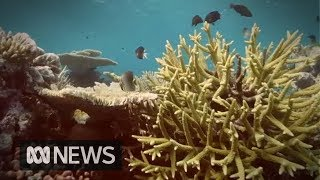 Lab-bred, heat-tolerant corals may provide hope for the Great Barrier Reef | ABC News