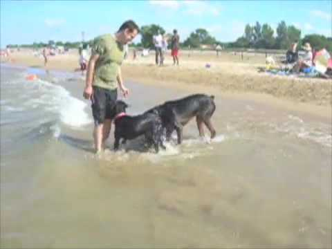 Puppies Playing Together. Rottweiler Puppies Playing at
