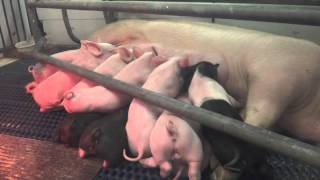 10 Piglets nursing from their mother