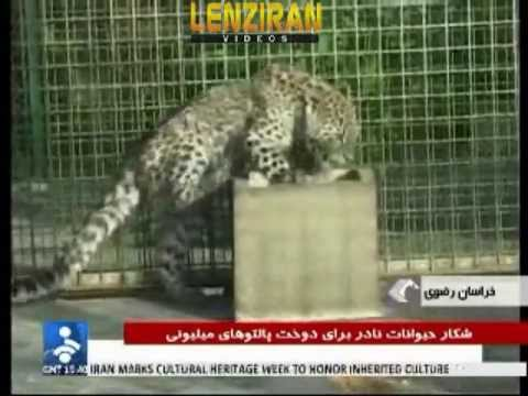 Two dealer of wild life skin arrested after wandering leopard found in the town of Mashad