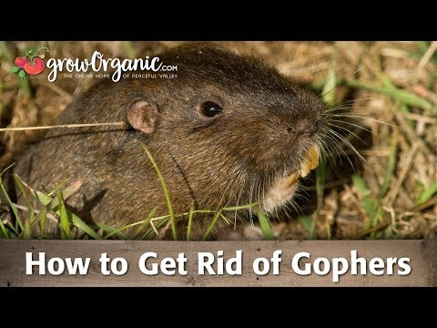 gophers gob top 5 - photo #39