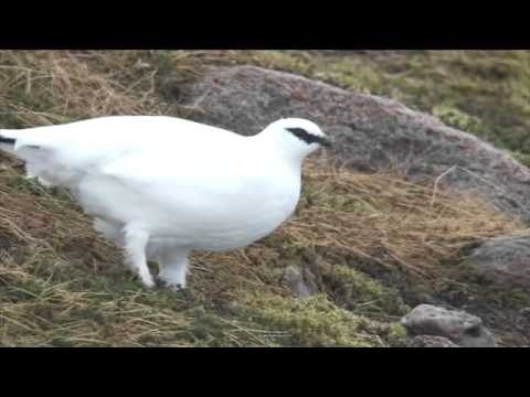 Ptarmigans And The Cairngorm Mountains
