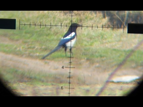 Air Rifle Hunting - Magpies Pest Control 01/2014