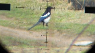 Air Rifle Hunting - Magpies Pest Control 01 /2014
