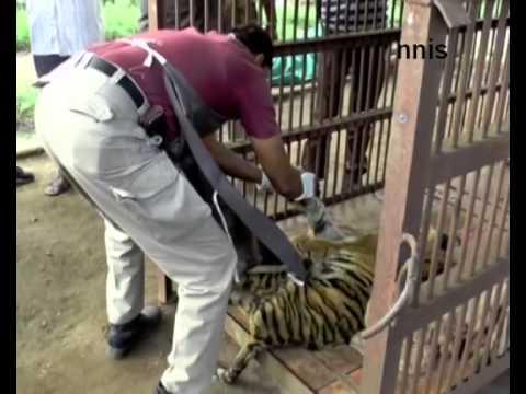 Six Month Old Injured Tigress Dies In Mudumalai Reserve