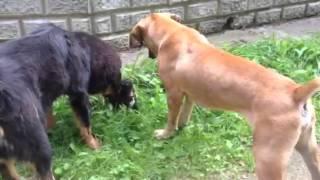 Caucasian Ovcharka vs Tibetan Mastiff