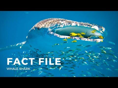 Whale Shark Fact File - Ocean Life