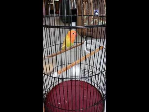 Lovebird baby 3 bulan ekek aktif