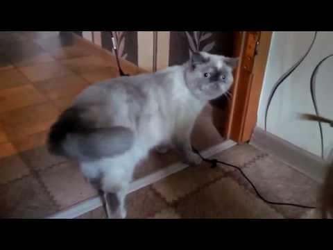 Наша экзотическая кошка Плюшик