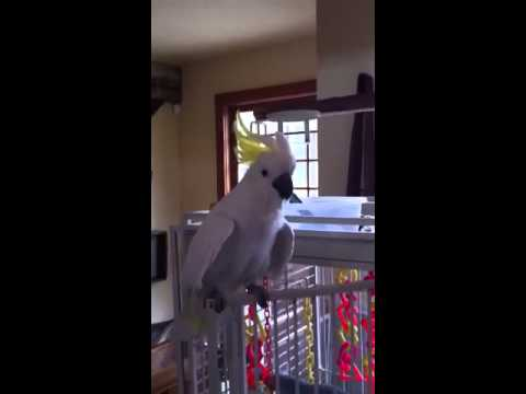Stevie the Gangnam style cockatoo