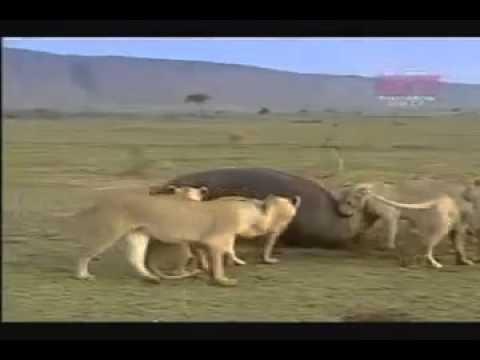 INCRÍVEL!  1 hipopótamo X 8 leões