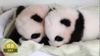 The first 100 Days of Mei Lun and Mei Huan