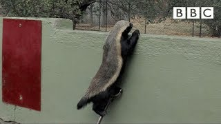 Stoffle, the Badger that can escape from anywhere! | Honey Badgers: Masters of Mayhem - BBC
