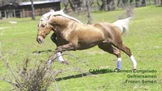 CAMARON - SEMENTAL - STALLION - ZUCHTHENGST