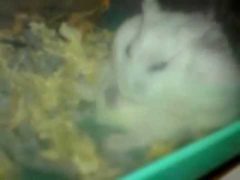 pictures of hamsters giving birth. HAMSTER GIVING BIRTH