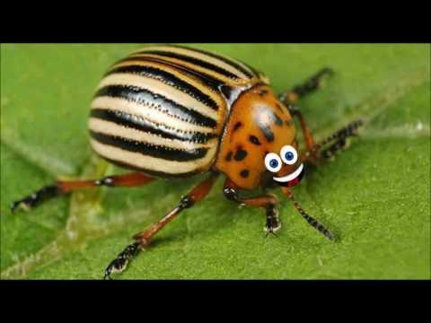 Гуфовский — Анекдот про жука