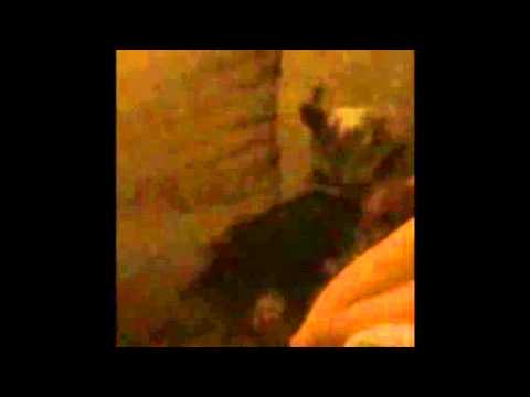Yorkshire Terrier Lesbian Dog Porn video