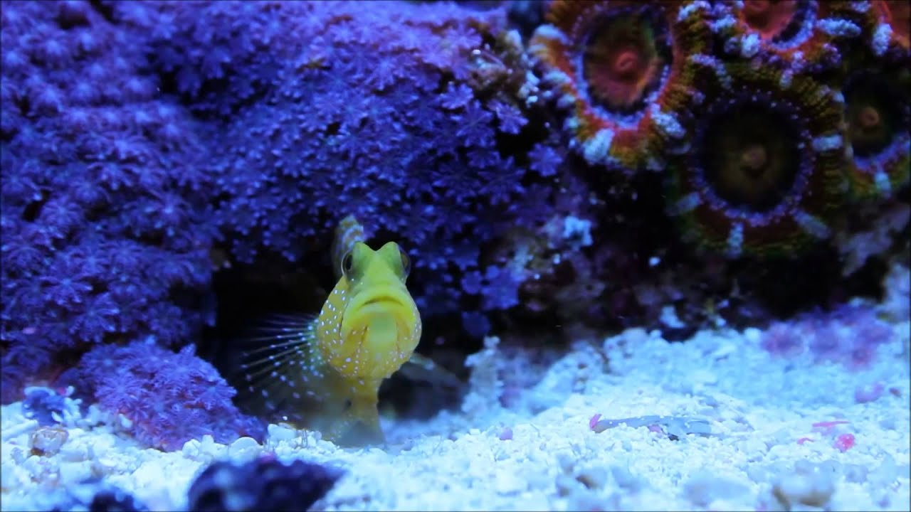 Yellow Watchman Goby Not Yellow Yellow Watchman Goby