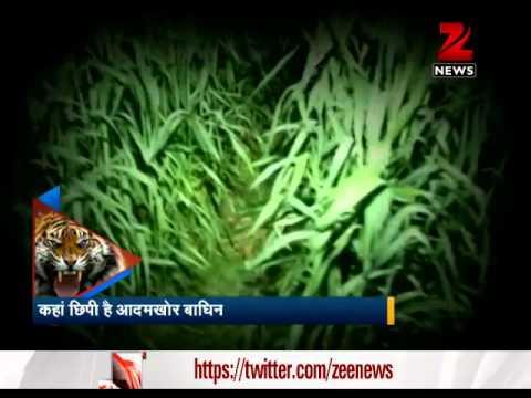 Watch man-eating big cats terrorise Uttar Pradesh