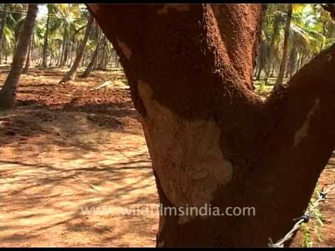 Tree with termite infestation