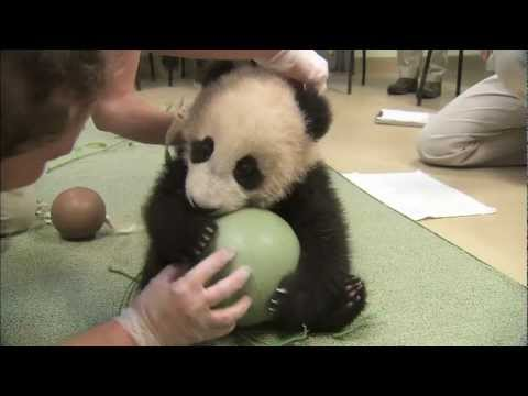 Panda Cub Has a Ball - Xiao Liwu's 18th Exam