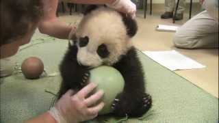 Panda Cub Has a Ball - Xiao Liwu