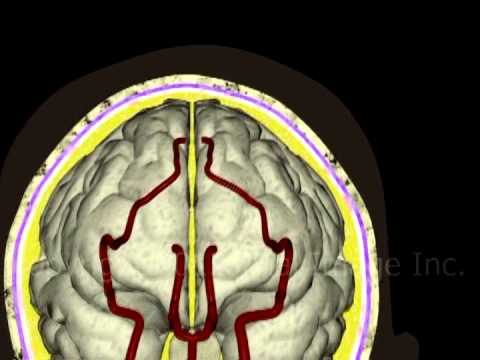 Anatomy of the brain and meninges video - Animation by Cal Shipley, M,D,