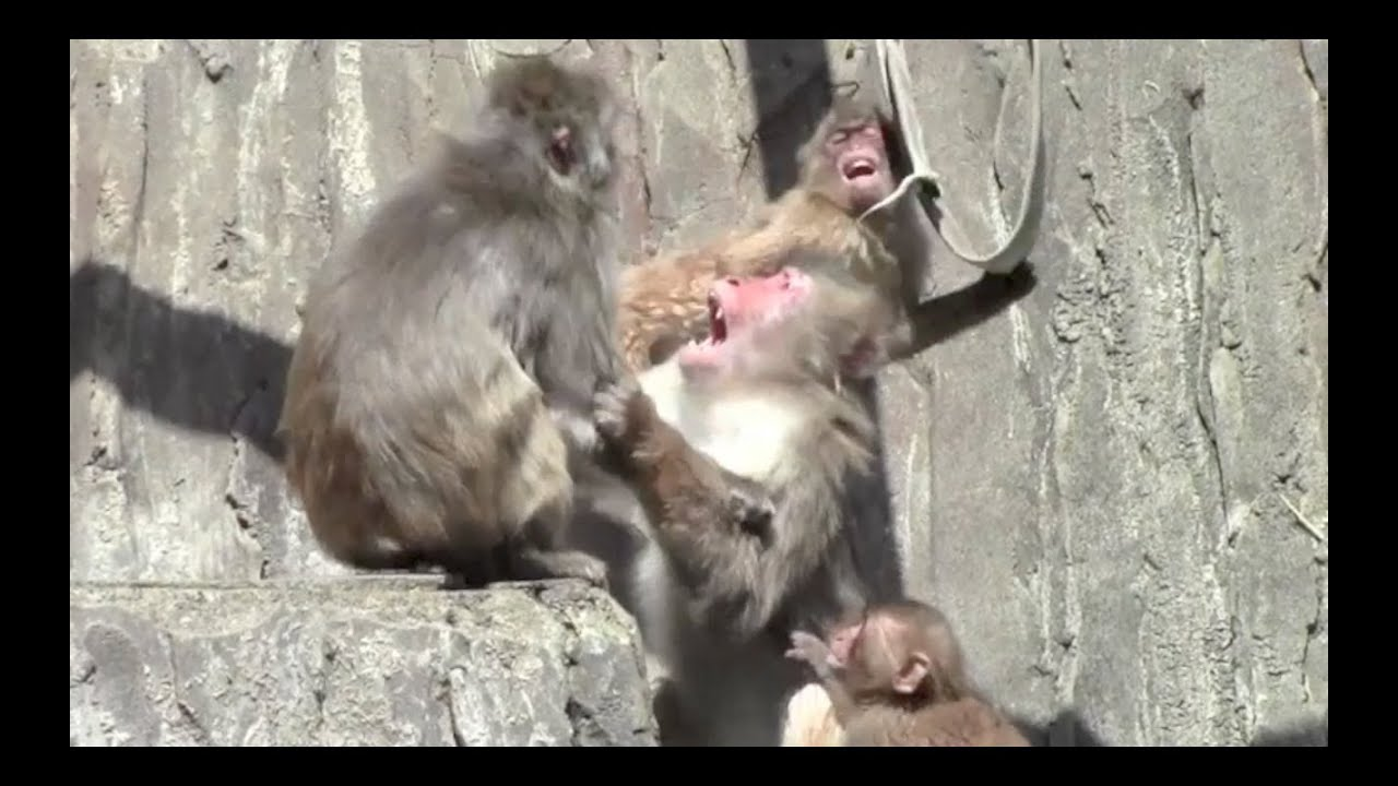 Angry Monkeys Fighting Monkey Fight Animal Fight