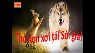 Thỏ non xơi tái sói già - Kỹ năng tốt cho cuộc sống - Hiệu trưởng kể chuyện - Phương Nguyễn
