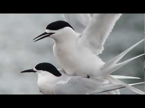 It's Our Tern To Mate