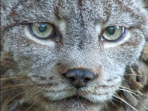 CANADIAN LYNX - Species Spotlight