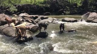 Kaya going underwater looking for rocks while the pack plays at the river