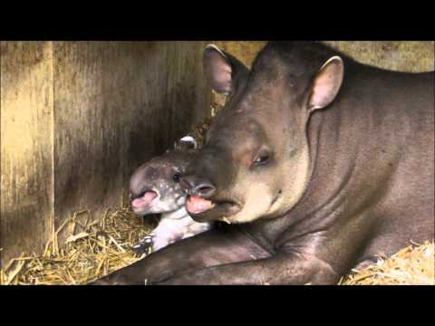 Sleepy Baby Tapir