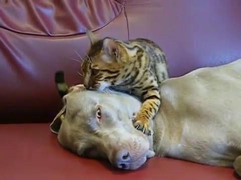 Cat Gives A Dog Hypnotherapy - The Translation