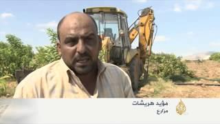 تضرر موسم زراعة الجوافة في الأغوار