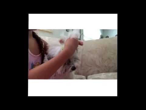 How to: Take Care of Havanese Hair || Links To Buy Dog Hair Care Items