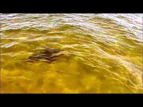 SHARK !!! Panama City Beach, Florida - Shell Island - Spring Break 4/6
