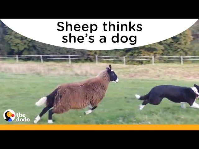 Adorable Sheep Thinks She's A Dog