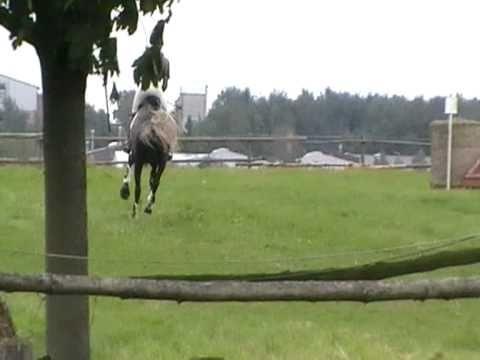 2010-09-10-Raggae Geländepferde Zülpich-Enzen