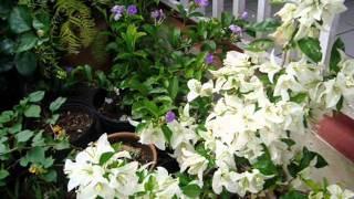 Las bouganvillas, esas flores maravillosas