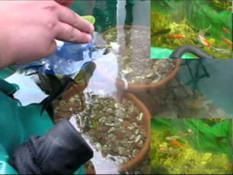 My little pond zen il mio laghetto zen con koi youtube for Quali pesci mettere nel laghetto