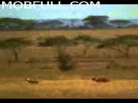 Tiger_-_MOBFULL.COM.3gp