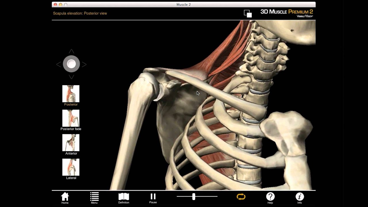 Scapula Elevation muscle action with Muscle Premium - YouTube
