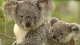 Koala breeding at an Australian Zoo | Making Animal Babies | BBC